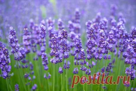 Лаванда: сорта, особенности посадки и ухода за лавандой