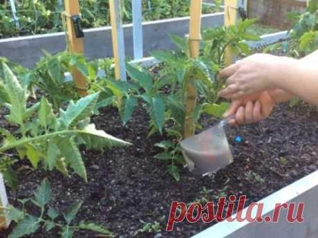 Чем подкормить помидоры после высадки в грунт - народными средствами