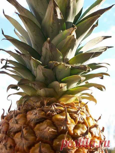 Как посадить верхушку ананаса :: Дизайн квартиры :: KakProsto.ru: как просто сделать всё