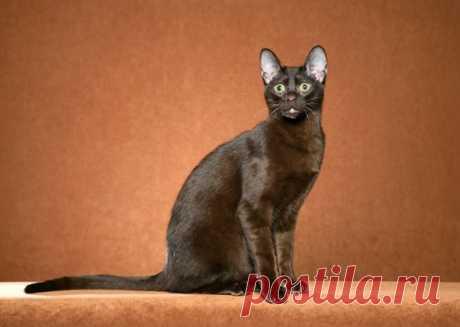 5 пород кошек, о которых вы никогда не слышали | PetTips