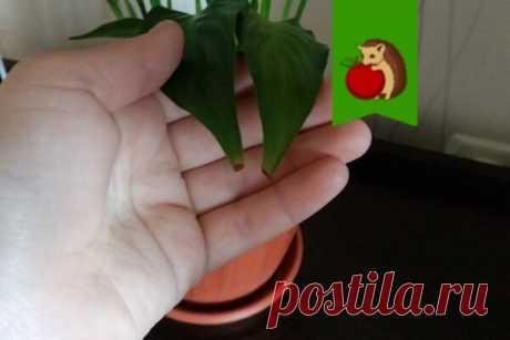 У спатифиллума сохнут и чернеют кончики листьев: 5 шагов как быстро реанимировать цветок  Если вы заметили, что листья вашего растения стали вялыми, морщинистыми, начали подсыхать и сворачиваться – значит, в его корневой системе что-то не так. Возможно, вы залили его или переувлажнили почву. Если это так, то ваш цветок непременно нужно спасать. У спатифиллумов сохнут кончики листьев Спатифиллум – растение, которое очень любит влагу, и если вы надолго забудете о поливе, ему это явно не понравит…