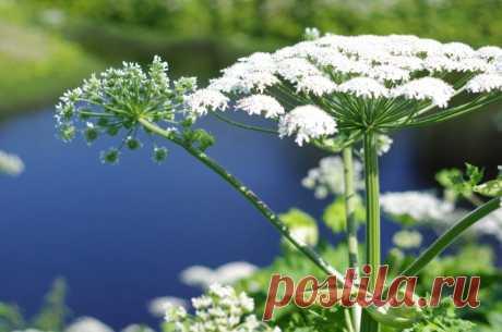 Растение Борщевик: как выглядит, описание, виды