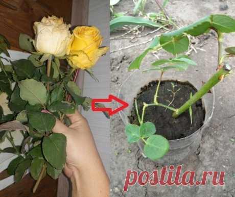 Как укореняю черенки роз с осени и весной получаю для посадки свои саженцы роз   Klumba-plus   Яндекс Дзен
