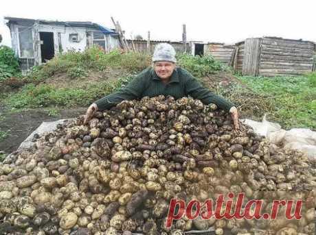 Хотите получать большой урожай картофеля? Чесночная болтушка вам в помощь | 6 соток