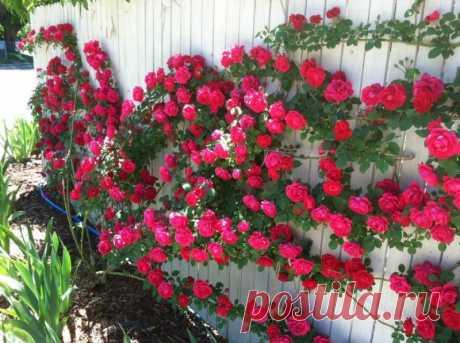 О плетистой розе — Садоводка