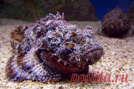 Бородавчатка, или рыба-камень — самая ядовитая рыба в мире. Посмотрите, как добывают ее яд.