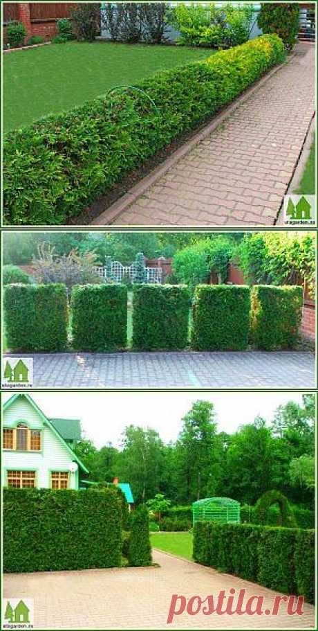Живая изгородь из туи | Дачная жизнь - сад, огород, дача