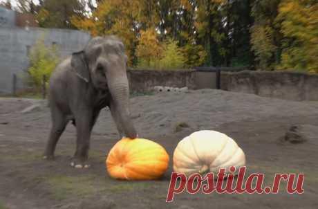 Слонам в Орегонском зоопарке в США дали гигантские тыквы в честь приближающегося Хеллоуина