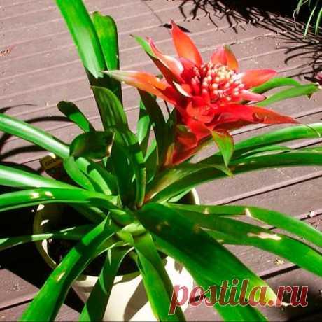 Комнатное растение Гусмания (Guzmania). В продажу чаще всего поступают сорта гусмании язычковой (G.lingulata). Высота растения определяется в основном длиной листьев, вытягивающихся на 30-45 см. Листья образуют плоскую розетку. Цветение происходит в марте-сентябре и продолжается несколько месяцев. Прямой и толстый цветонос короче листьев; он находится в центре цветовой розетки. Прицветниковые листья оранжево-красного цвета; цветки-белые, мелкие.