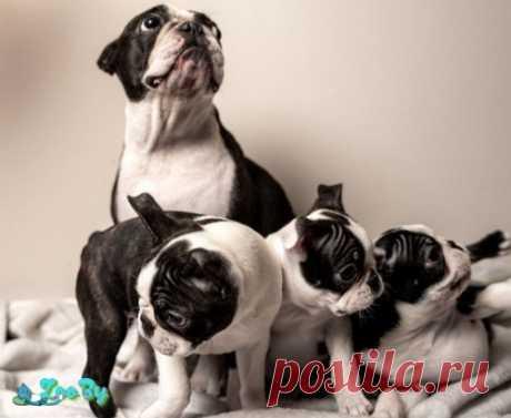 Бостон терьер щенки от родителей чемпионов купить в Минске на сайте объявлений