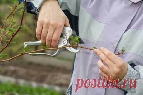 Как обрезать малину, чтобы летом вдоволь наслаждаться ягодами | Идеальный огород | Яндекс Дзен