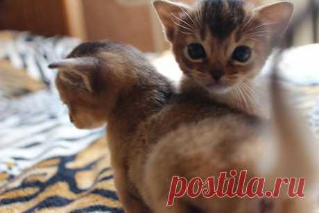 Los gatitos abisinios