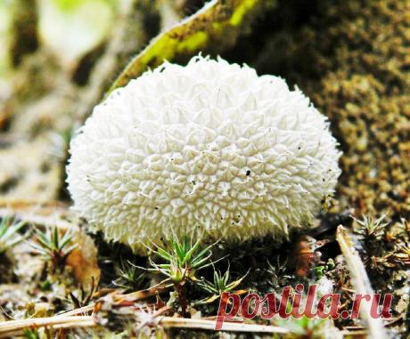 Галлюциногенность белого дождевика | Книга растений | Яндекс Дзен