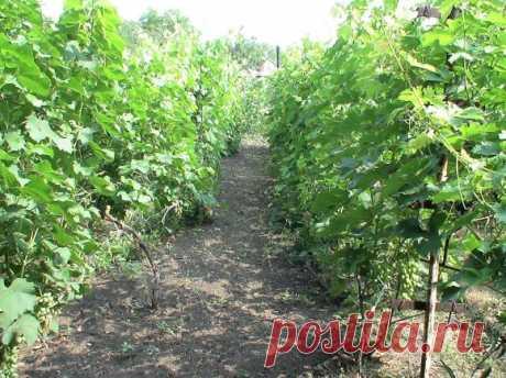 Как омолодить виноградный куст | Азбука садовода