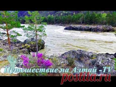 Алтай и на камнях растет маральник (багульник) в 4К. - YouTube