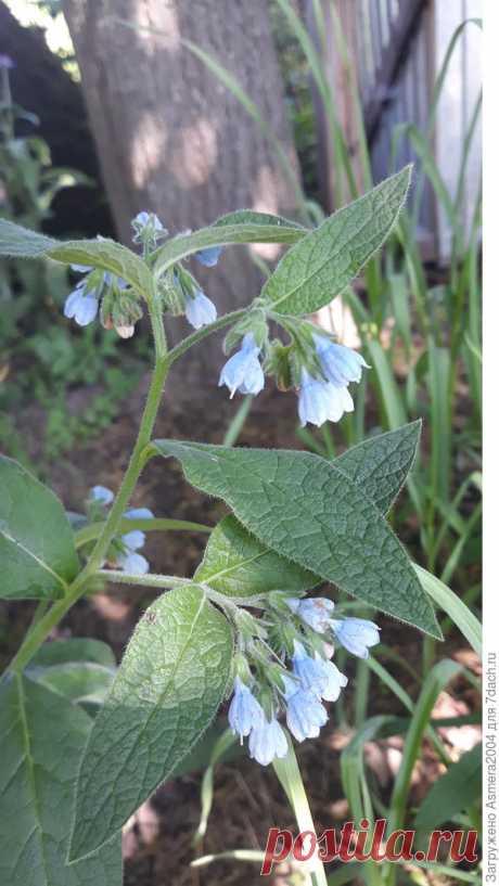 Окопник: применение в саду и огороде, удобрение из окопника
