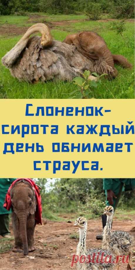 Слоненок-сирота каждый день обнимает страуса. - likemi.ru