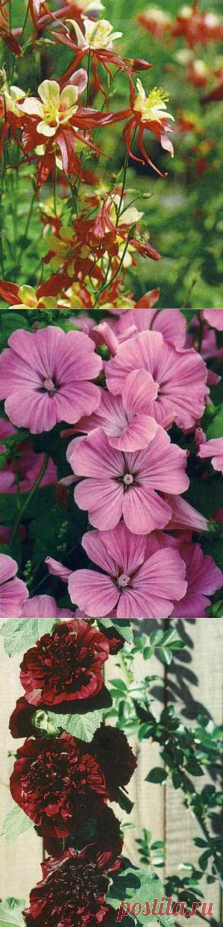 Цветы для палисадника - Аквилегия, Лаватера, Мальва