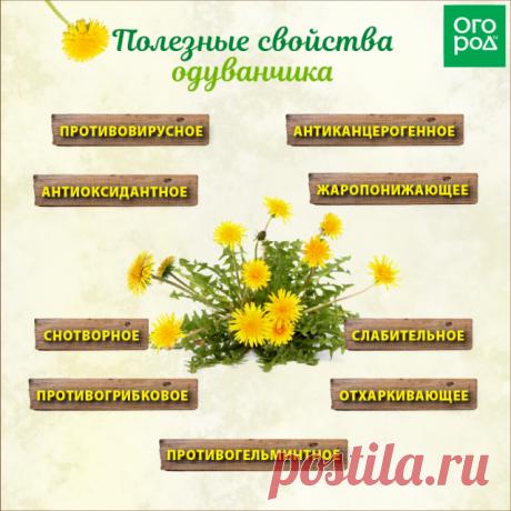 Что можно приготовить из одуванчиков – рецепты для укрепления здоровья и не только | Полезно (Огород.ru)