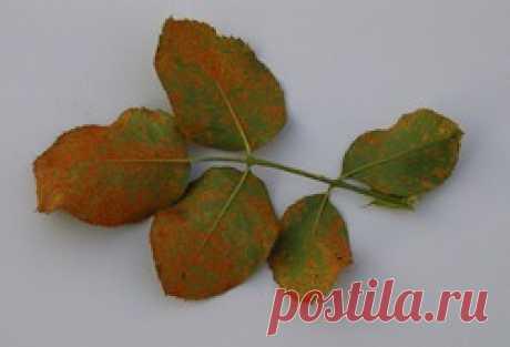 Инфекционные заболевания роз. Ржавчина: Группа Цветы и флористика