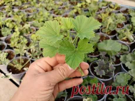 Сколько можно заработать на выращивании пеларгонии и других цветов?