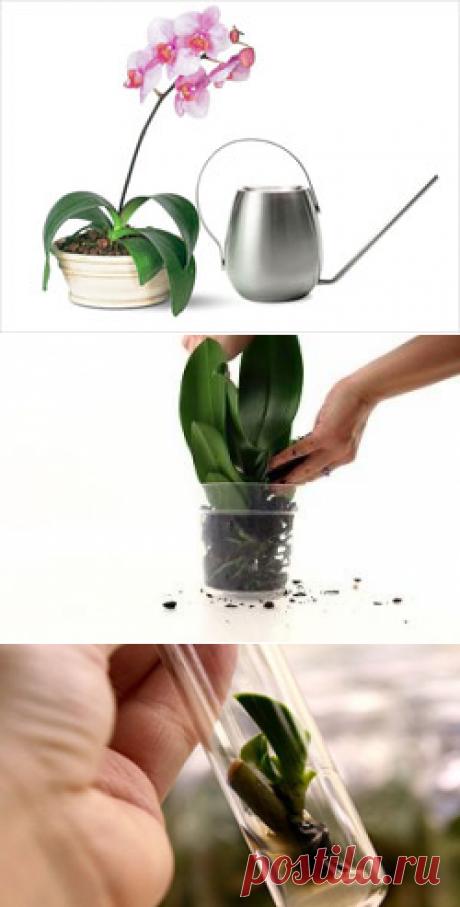 Орхидеи – особенности ухода :: Флорен