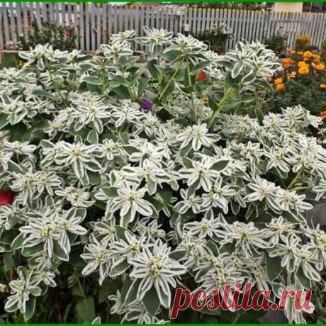 """Молочай """"Горный хрусталь"""" Один из самых эффектных и элегантных молочаев. Шикарно смотрится как в саду, так и в контейнерной культуре. Образует прямостоячие ветвистые кустики до 80 см в высоту. Во время цветения края верхних листьев белеют, что придаёт растениям неповторимый вид. Декоративен в течение всего сезона до первых заморозков. Хорошо развивается на песчаных, бедных почвах без внесения удобрений. Требует солнечного месторасположения. Подходит для срезки в дополнение..."""