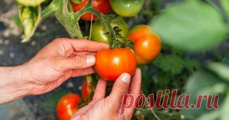 Что нужно успеть сделать с томатами в июле – советы для хорошего урожая В июле во многих регионах начинают зреть помидоры и огородники полагают, что теперь вся работа в теплице и на грядах с томатами сведется к сбору урожая. Однако это опасное заблуждение, ведь продлить интенсивное плодоношение не так просто.