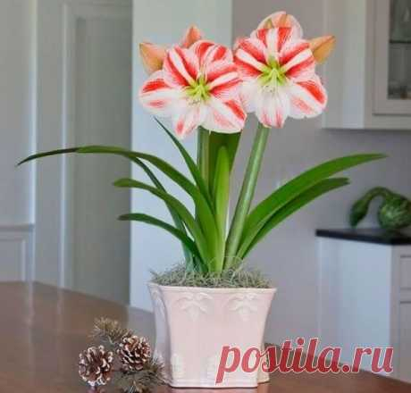 Уход в домашних условиях за амариллисом Достоинства этого цветка Он настолько неприхотлив, что летом его луковицу можно высаживать на клумбу. Полное название растения — амариллис белладонна.Выращивается это растение выгоночным способом. То ...