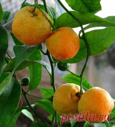 Ошибки при выращивании цитрусовых растений