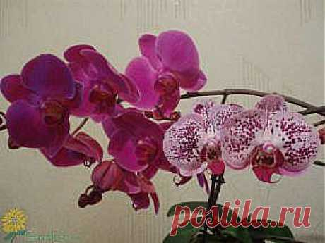 How to look after an orchid falenopsis