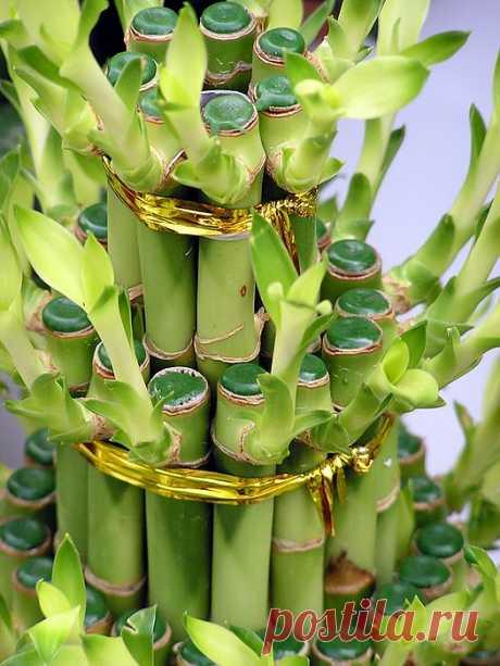 Como criar «el bambú de la felicidad»