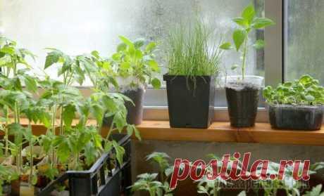 Выращиваем рассаду правильно – об этом должен знать каждый огородник Наши квартиры – не самое подходящее место для выращивания рассады. Растениям не хватает солнца, длины светового дня, места на подоконнике. Однако все это можно исправить. Вот несколько советов, которы...