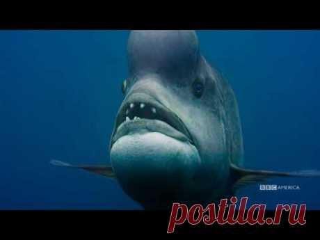 Planet Earth: Blue Planet II | Kobudai | Premiers Saturday, January 20 @ 9/8c on BBC America