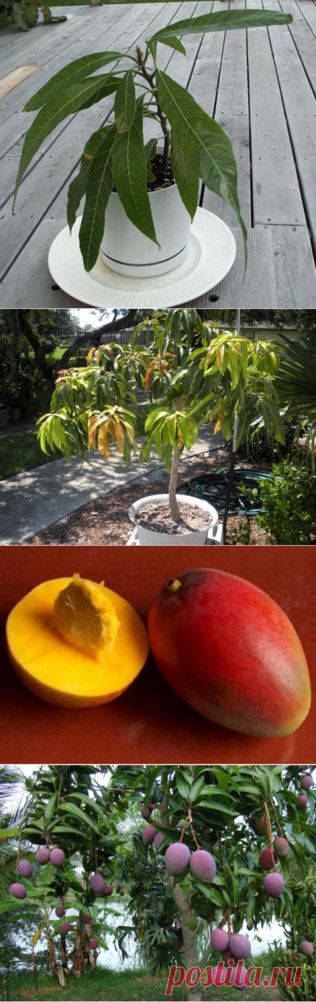 El árbol tropical en las condiciones de casa: como criar el mango del hueso