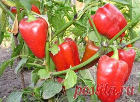 Секреты выращивания перца - МирТесен