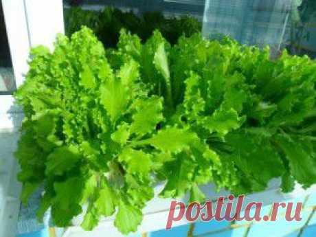 (+1) тема - Как вырастить на подоконнике салат и другую зелень   6 соток