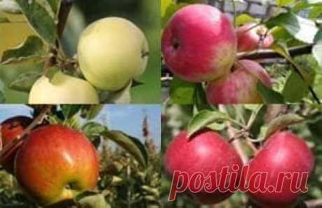 Плодовые деревья - купить саженцы в Москве и МО из питомника | «Царь Сад»