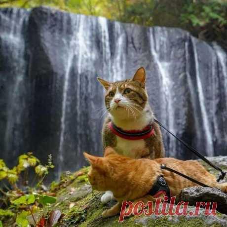 Дайкичи и Фуку-Чан — кошки, которые путешествуют вместе со своим хозяином