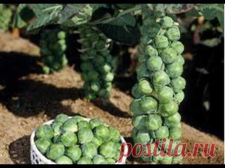 Выращивание брюссельской капусты на огороде - YouTube