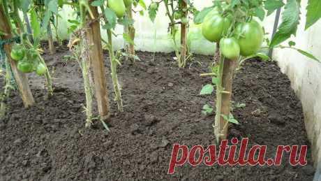 Почему буду сажать 2 куста помидоров в одну лунку | Красота природы | Яндекс Дзен