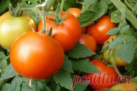 Нашатырь для помидоров: как действует и для чего его используют