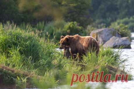 «У этой медведицы с Курильского озера всего один детеныш, что бывает не так часто. Зато ему достается вся мамина любовь и забота!» – делится с нами нежным снимком Elena Vereshchaka: nat-geo.ru/community/user/18843/