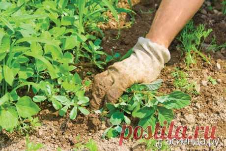 СОРНЯКИ ПОДСКАЖУТ, НАСКОЛЬКО УЧАСТОК ПРИГОДЕН ДЛЯ ОВОЩЕЙ: Группа Практикум садовода и огородника