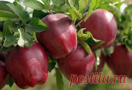 Как правильно ухаживать за яблонями, чтобы сохранить и увеличить урожай яблок.   источникСАДОВАЯ ФЕЯ - Дача. Сад и Огород           Как правильно ухаживать за яблонями, чтобы сохранить и увеличить урожай яблок.Затяжная холодно-дождливая весна, традиционные уже заморозки сдела…