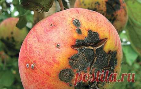 Осенью обрабатываю яблони от парши один раз и этого достаточно на весь год. | Любимая Дача | Яндекс Дзен