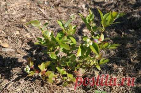 5 ошибок при выращивании голубики, которые лишают вас урожая | Голубика, жимолость (Огород.ru)