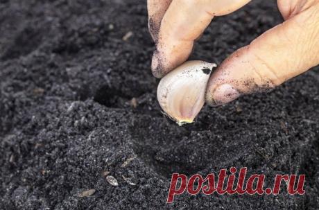 Как правильно сажать озимый чеснок? Моя полная инструкция по посадке (время посадки, обработка материала, на какую глубину)   Сад и огород   Яндекс Дзен