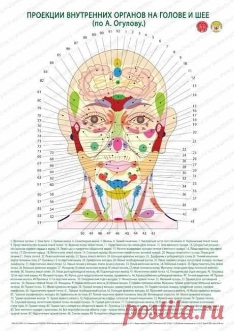Плакат проекции внутренних органов на голове и шее по А. Огулову