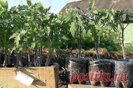 ПОДКОРМКА ДЛЯ РАССАДЫ  Рассаду помидоров поливают раствором йода для более быстрого роста (1 капля на три литра). После применения этого раствора рассада зацветёт быстрее, а плоды будут крупнее.   Может йод защитить помидоры и от фитофторы.  Для этого Вам понадобятся несколько капель йода и 250 грамм молока, смешайте их с 1 литром воды. Раствор - одна капля йода на три литра воды, этим йодным раствором надо один раз полить рассаду томатов. От этого увеличиться продуктивнос...